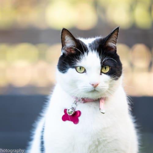Moscata - Domestic Short Hair Cat