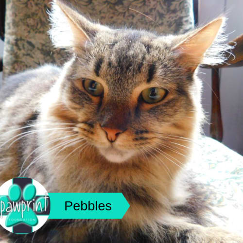 Pebbles - Domestic Medium Hair Cat