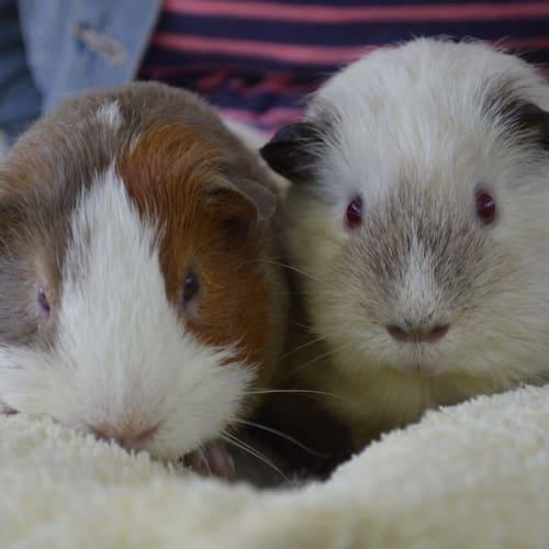 Buddy and Joseph -  Guinea Pig