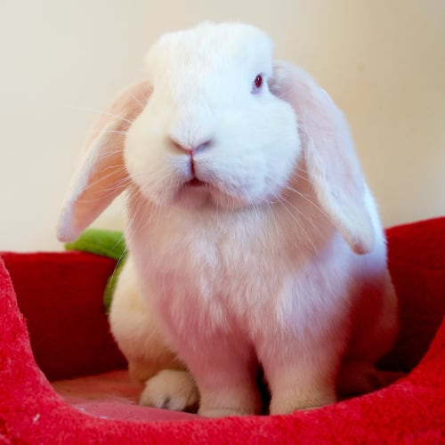 Norm -  Rabbit