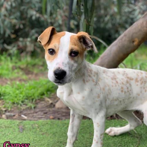Gypsy - Bull Arab Dog