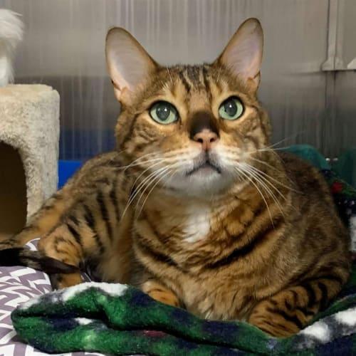 Prince - Bengal Cat