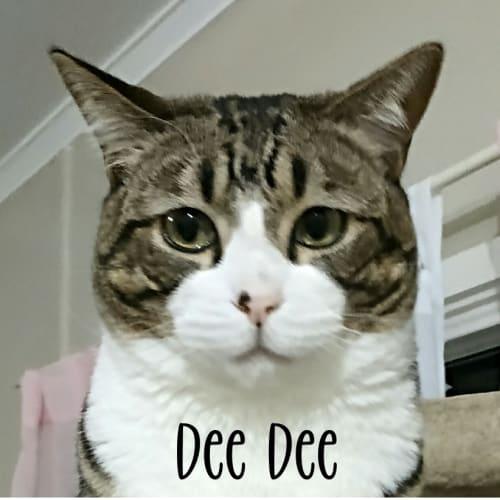 Dee Dee - Domestic Short Hair Cat