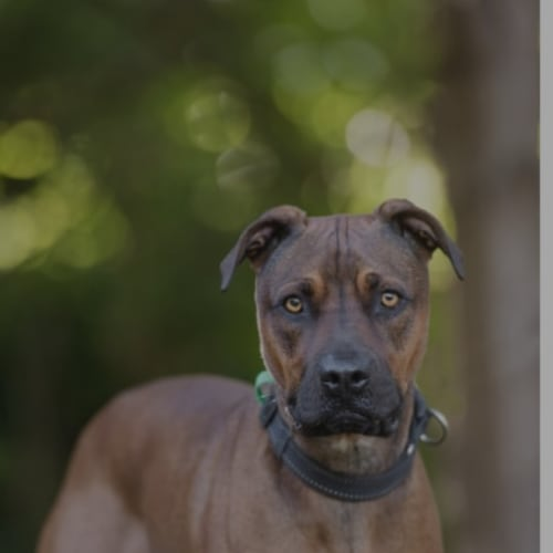 Chase - Boxer Dog