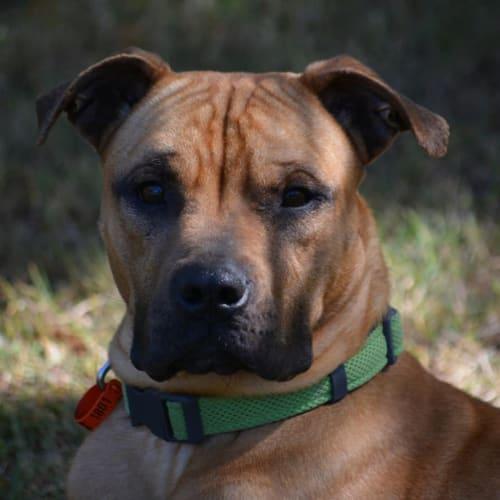 Milo - Mastiff Dog