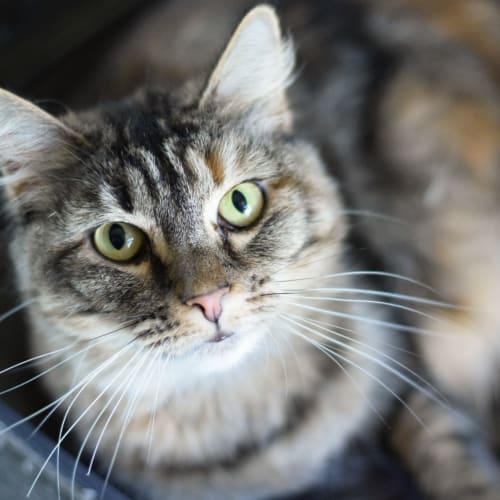 Nutmeg - Domestic Medium Hair Cat