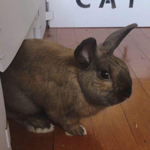 Jimmy Sparkles - Dwarf Rabbit