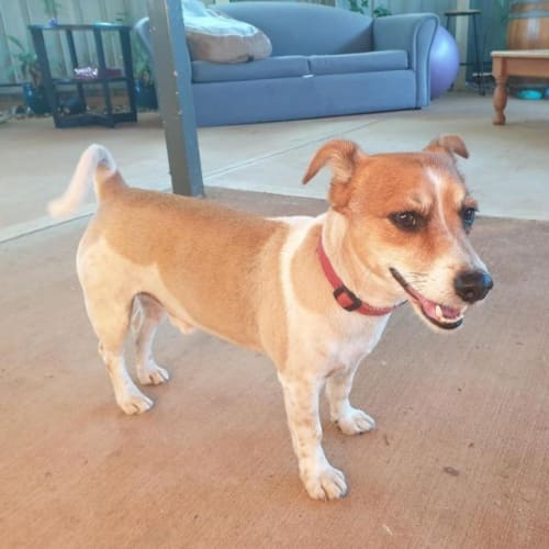 Jeffery - Jack Russell Terrier x Mixed Breed Dog
