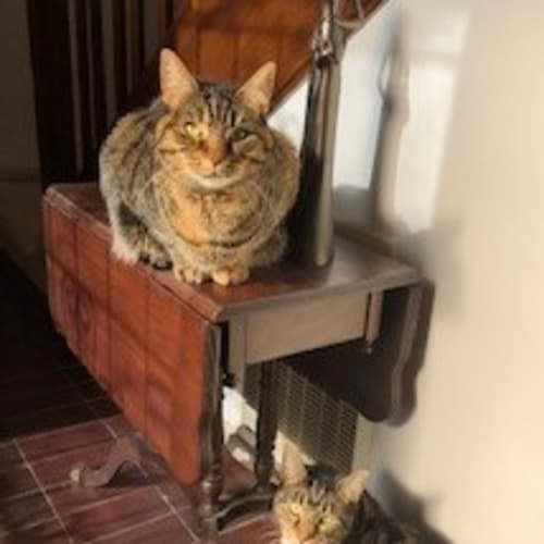 Sox & Missy (Located in Frankston) - Domestic Short Hair Cat