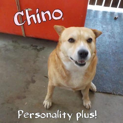 Chino  - Shar-Pei Dog