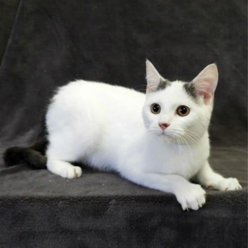 Chocolate Milk - Domestic Short Hair Cat