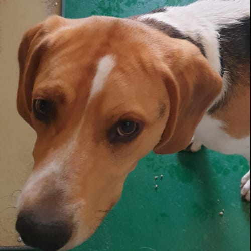 Ace - 47699 - Foxhound Dog