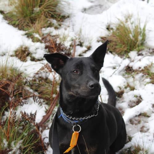 Ollie - Kelpie Dog