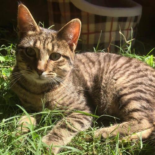 Chachi - Domestic Short Hair Cat