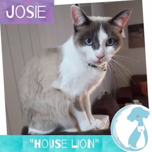 Josie - Ragdoll Cat