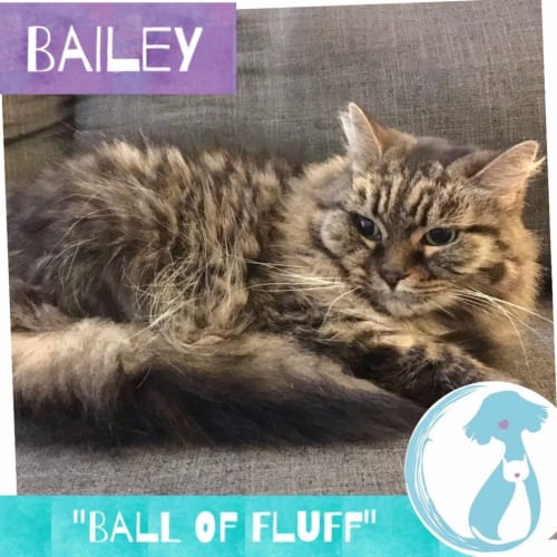 Bailey - Domestic Medium Hair Cat