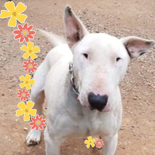Sprocket - foster carer needed - Bull Terrier Dog