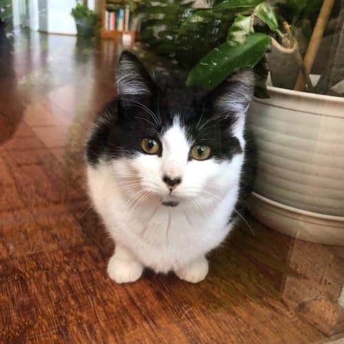 Lana  - Domestic Short Hair Cat