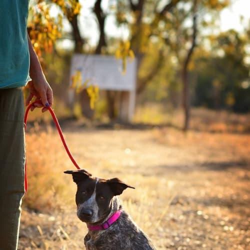 Plummie - Australian Cattle Dog