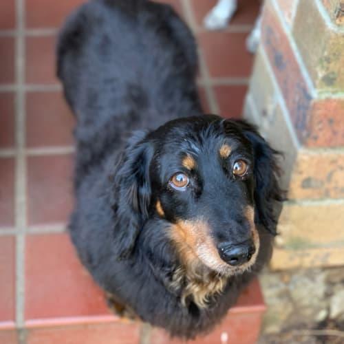 Basil - Dachshund Dog