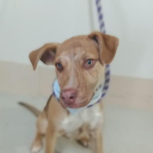 Dexter - Staffordshire Bull Terrier Dog
