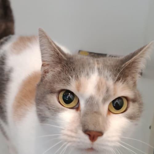 BB - Domestic Short Hair Cat