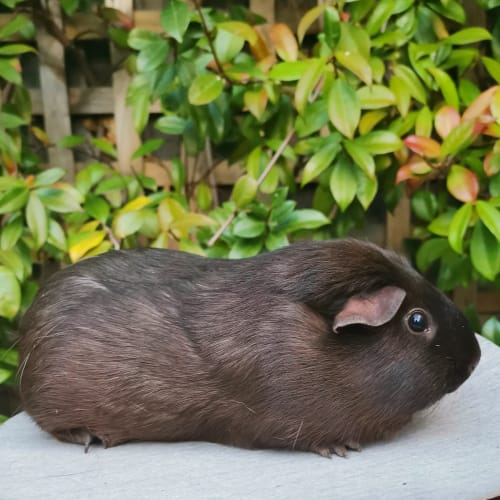 Orchid - Smooth Hair Guinea Pig