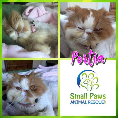 Portia - Persian Cat