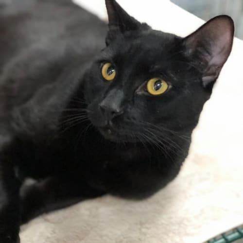 Merlin - Bombay Cat