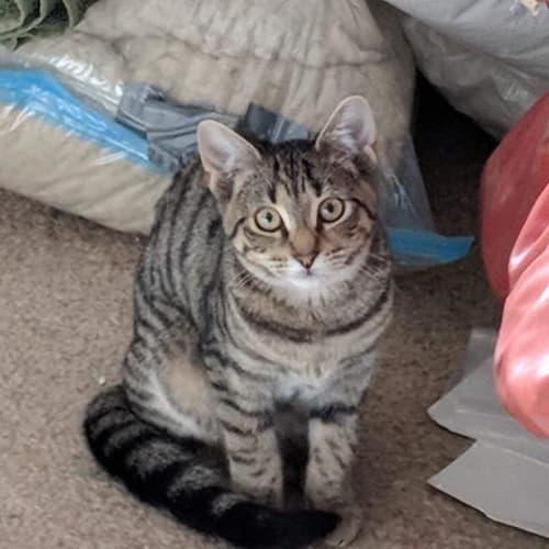 Roxy - Domestic Short Hair Cat