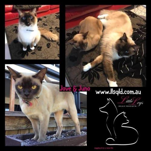 Jove / Juno - Ragdoll Cat
