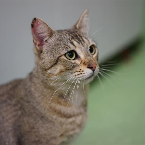 Zulu - Domestic Short Hair Cat