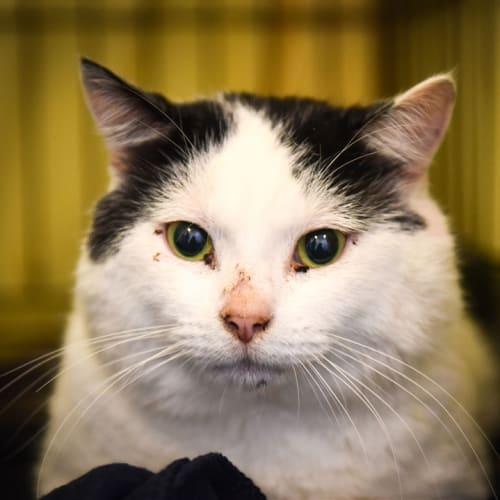 Rami - Manx Cat