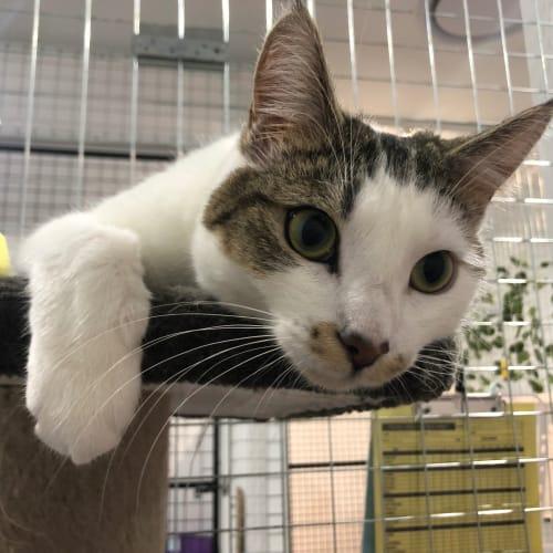 Tash - Domestic Short Hair Cat