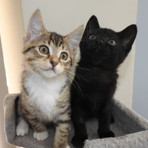 Jet & Boots - Domestic Short Hair Cat