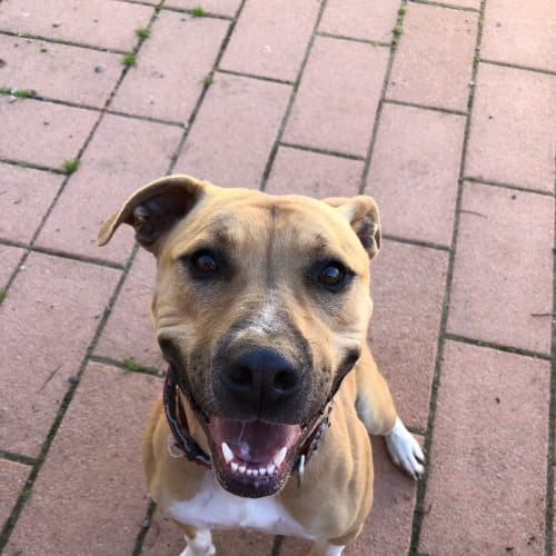 Saffron  - Staffy x Cross breed Dog