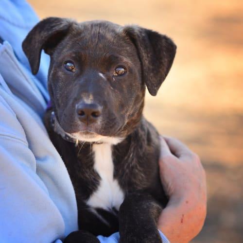 Delilah - Staffy x Labrador Dog