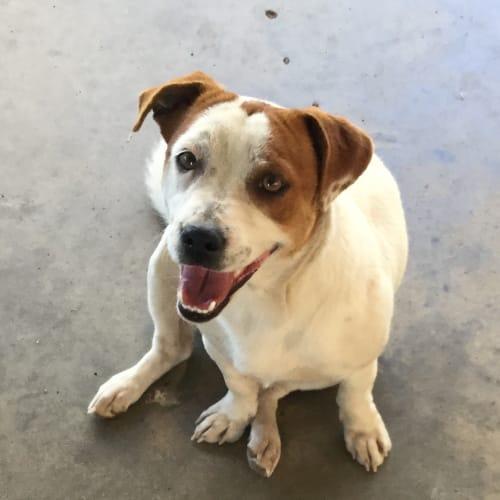 Meggsy - Jack Russell Terrier x Australian Cattle Dog