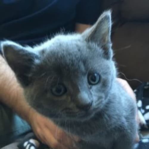 Rayna - British Blue Cat