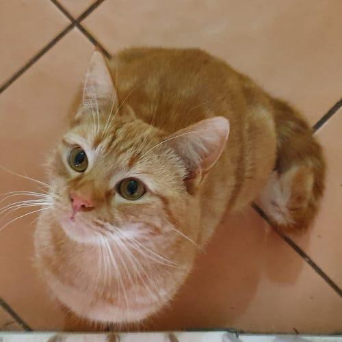 Shino - Domestic Short Hair Cat