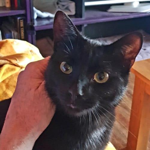 Victoria - Domestic Short Hair Cat