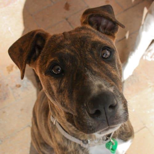 Squeak - Mastiff x American Staffordshire Bull Terrier Dog