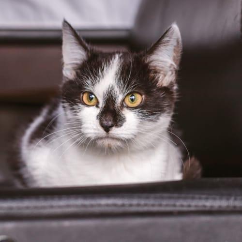 Sylvester 🐱 - Domestic Short Hair Cat