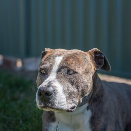 Mr T & Daisy - Staffy Dog