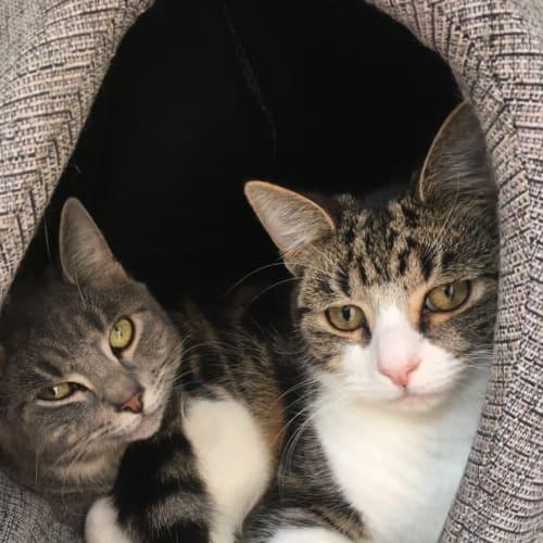 Mason and Major - Domestic Short Hair Cat