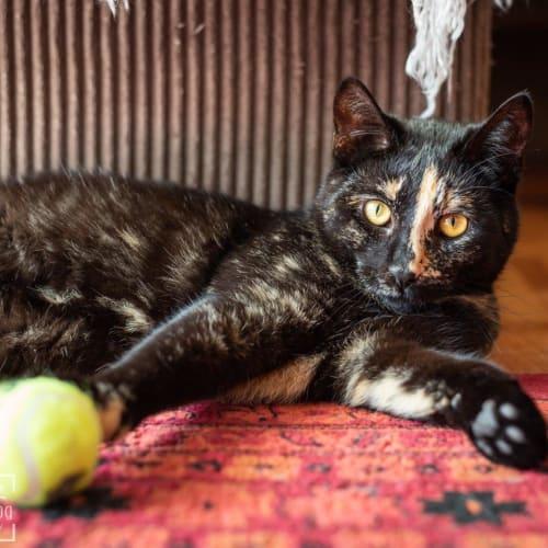 Naomi - Domestic Short Hair Cat