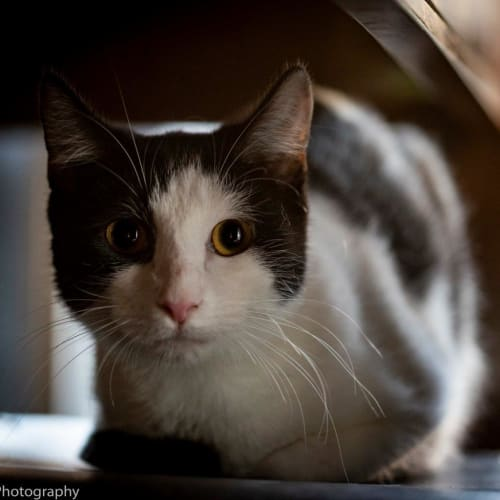 Bronwen - Domestic Short Hair Cat