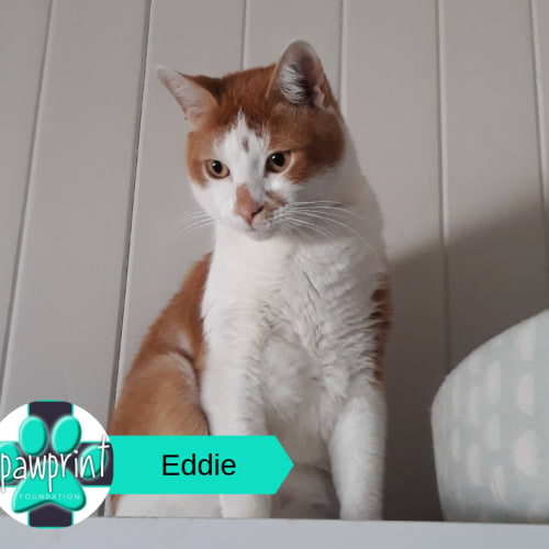 Eddie - Domestic Short Hair Cat