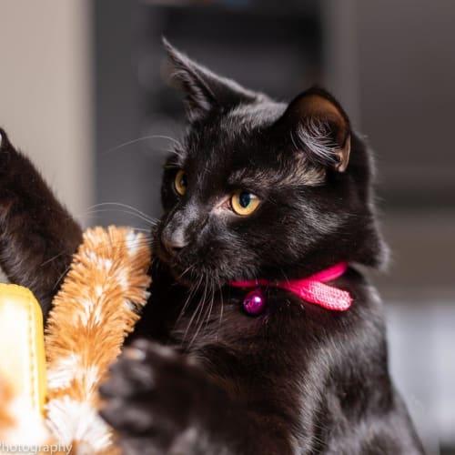 Leonardo - Domestic Short Hair Cat