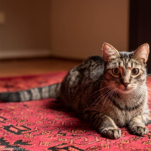 Vladimir  - Domestic Short Hair Cat